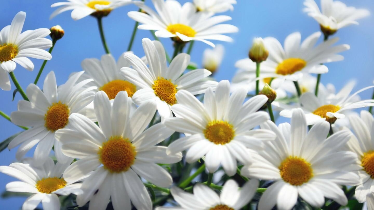 15 inspiring daisy flower photos mostbeautifulthings daisy flower 14 izmirmasajfo