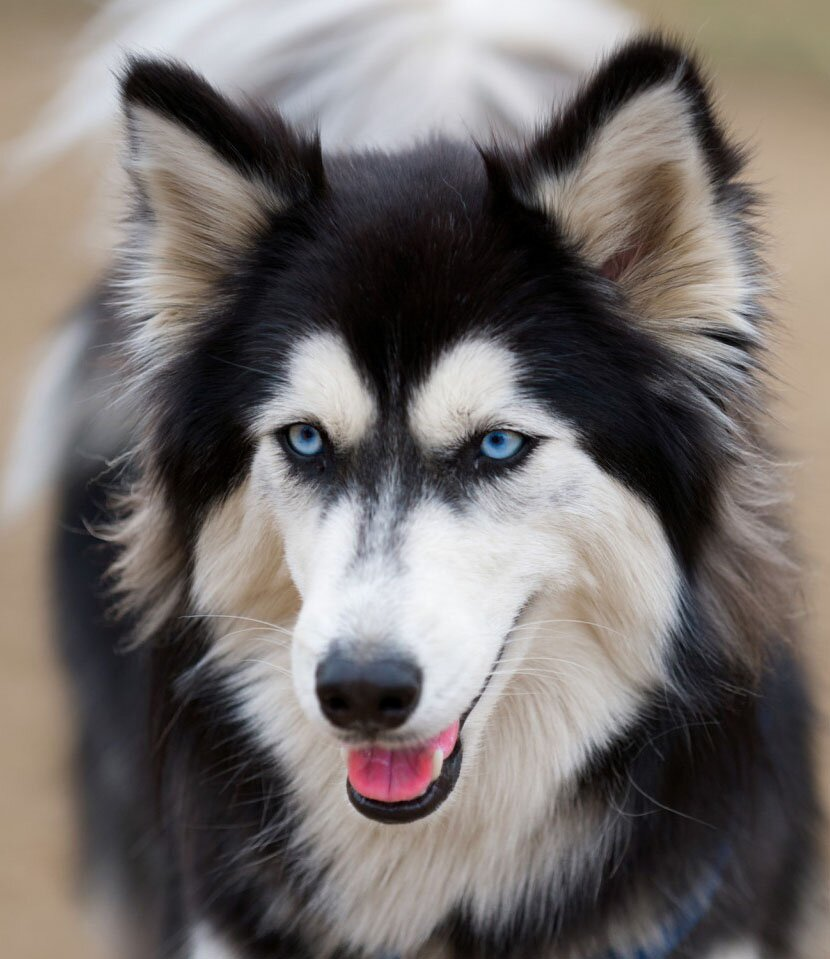 Top 16 Siberian Husky Photos For Husky Lovers Mostbeautifulthings
