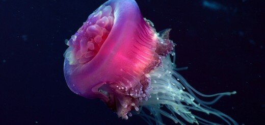 types of jellyfish and jellyfish pictures 11