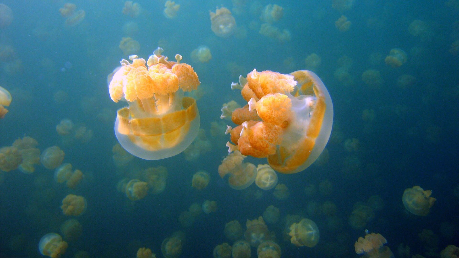 9 types of jellyfish with perfect pictures for Fish in jellyfish