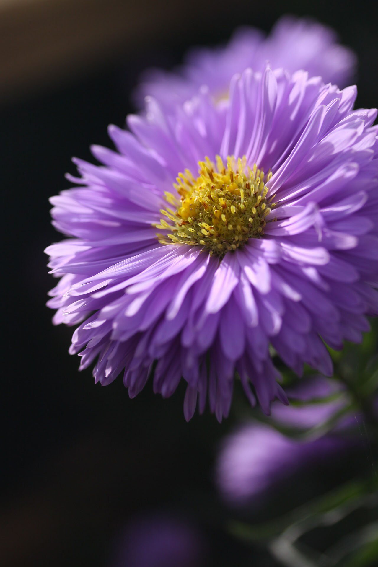 Aster flower photo, 35 best flower photos