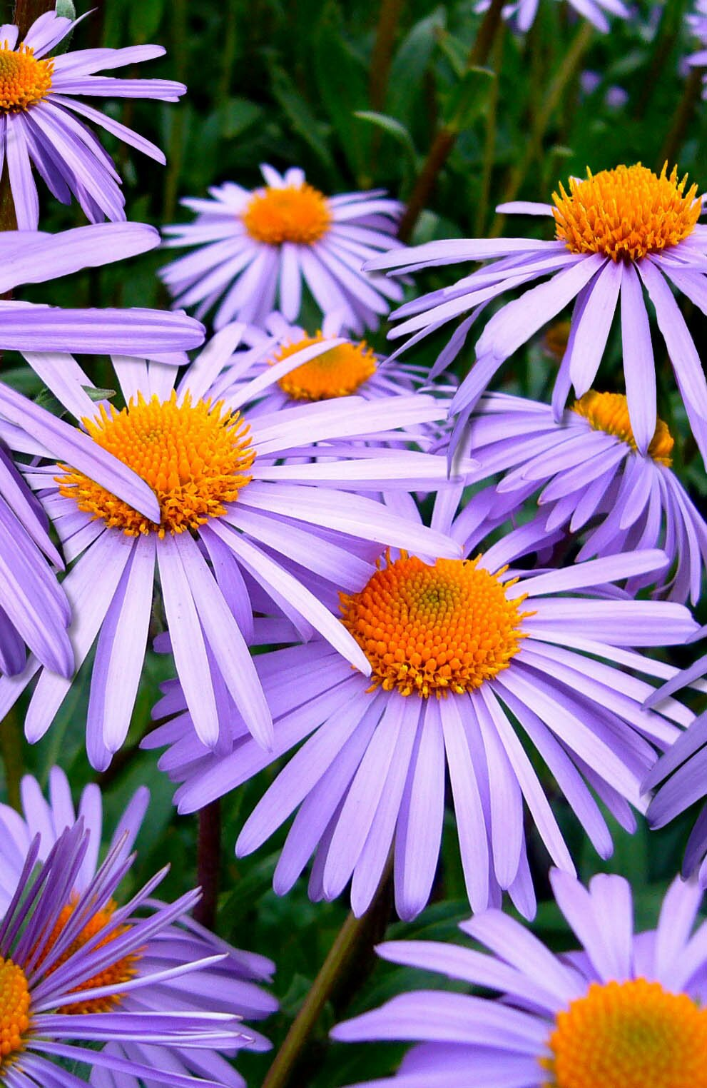 Aster tongolensis flower photo, 35 best flower photos
