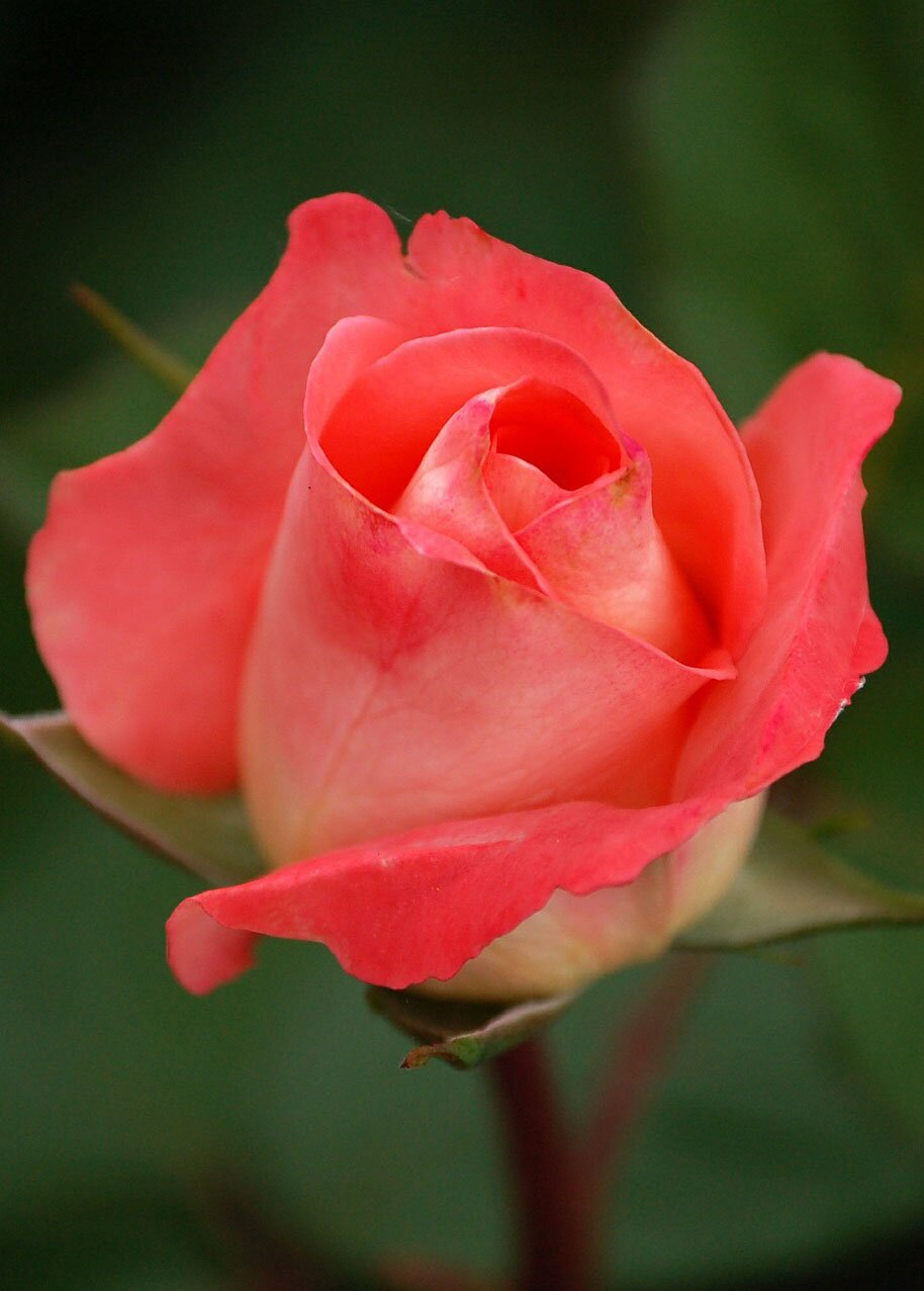 Beautiful rose flower, 35 best flower photos