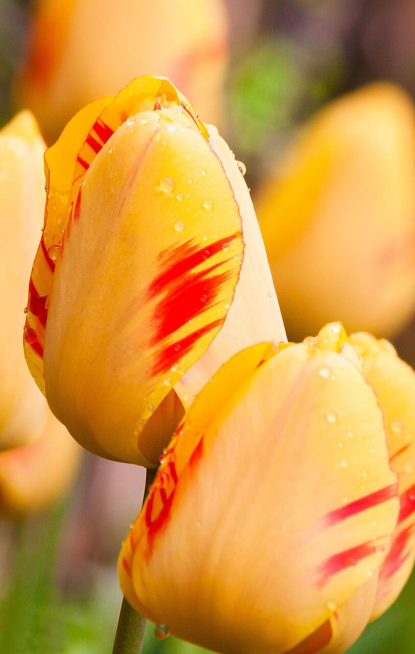 Beautiful tulips, 35 best flower photos