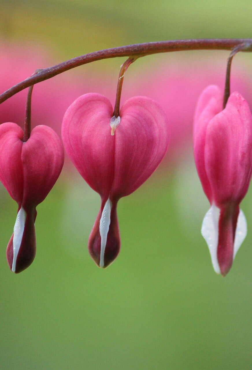 Bleeding heart flower, 35 best flower photos