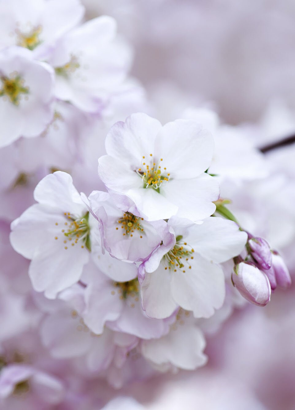 Cherry blossom flower, 35 best flower photos