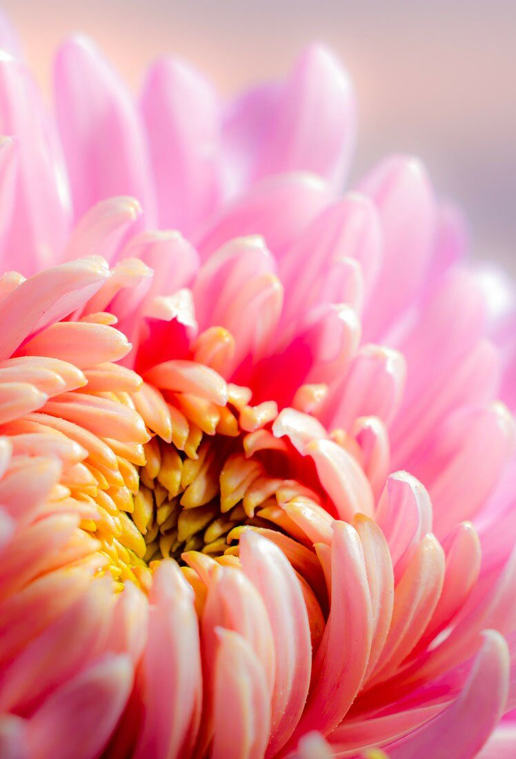 Chrysanthemum flower, 35 best flower photos