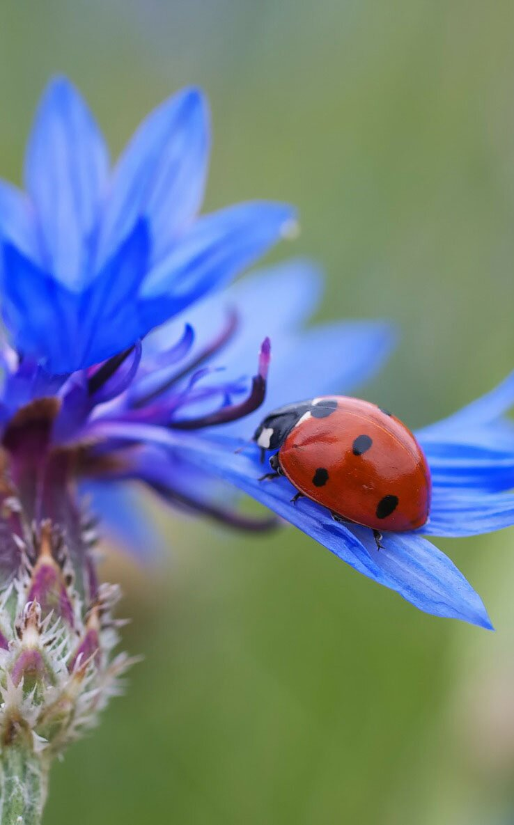 Cornflower flower photo, 35 best flower photos