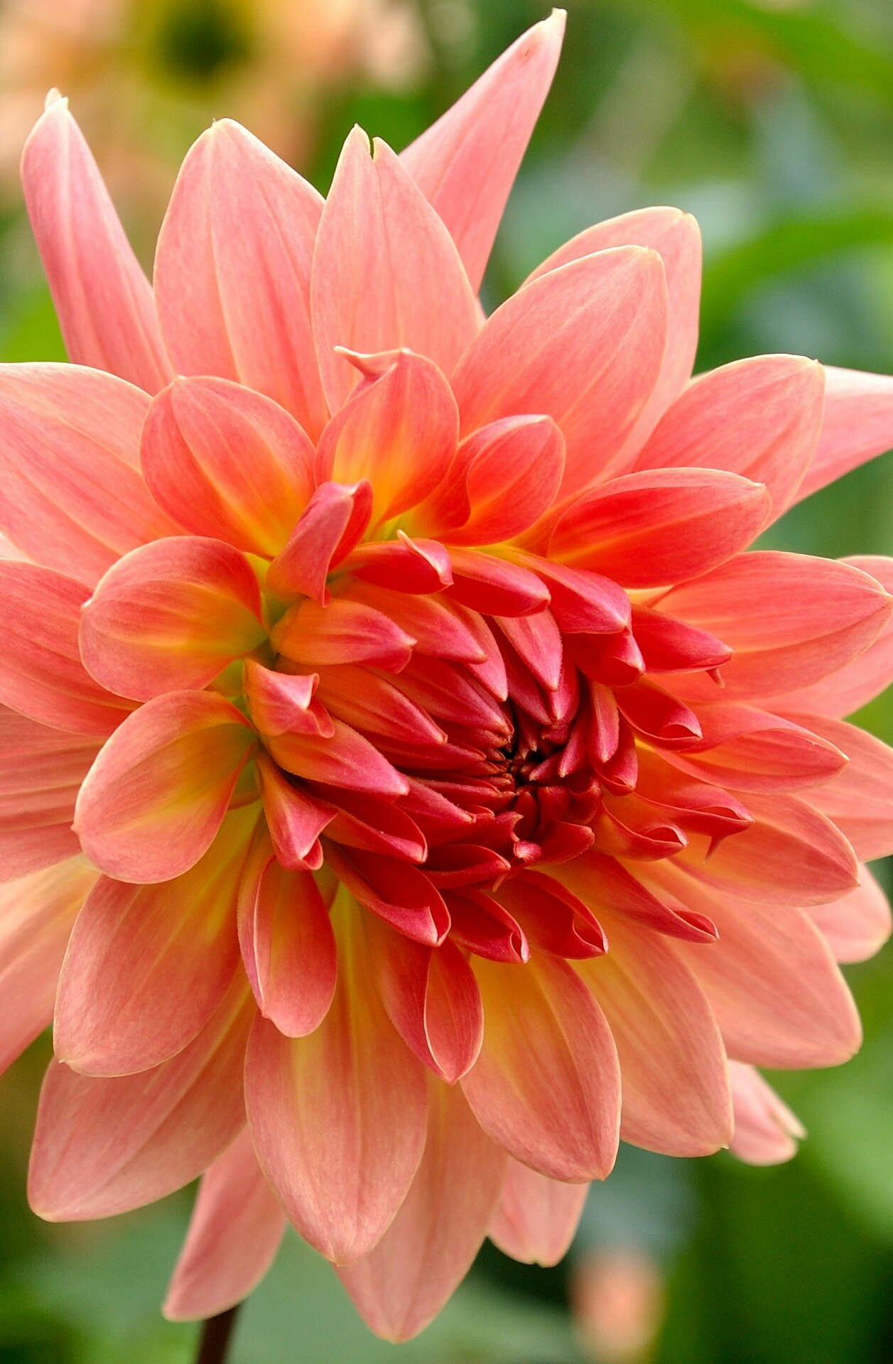 Dahlia flower photo, 35 best flower photos