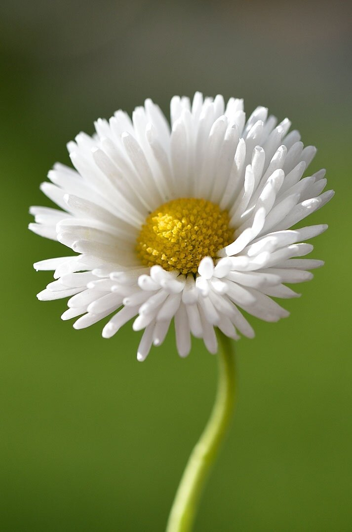 Daisy flower photos, 35 best flower photos